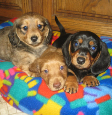 Heartland Dachshunds Of Southern Illinois Heartland Dachshunds Of